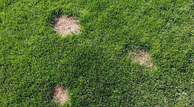 How to fix bald spots in a lawn
